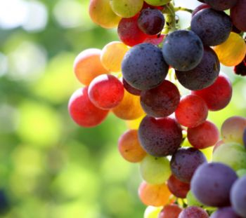 multi color grapes